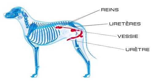 voies urinaires chien